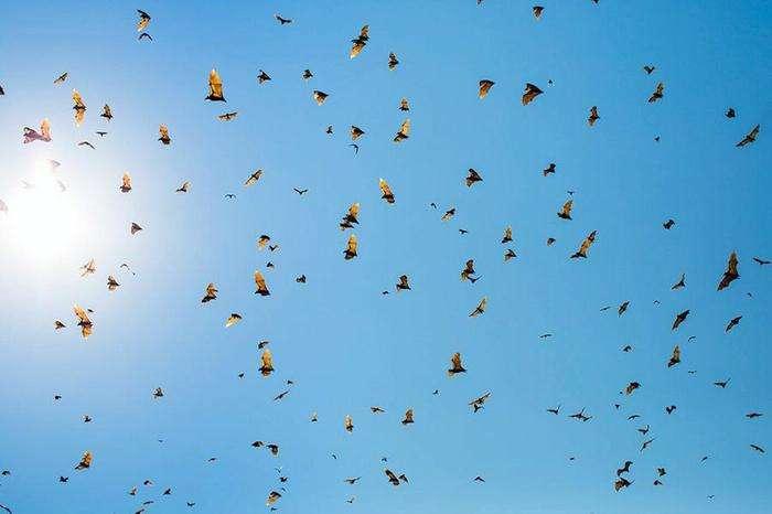 Миграция летучих мышей