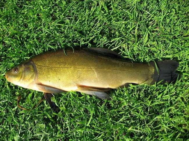 Рибка, яка линяє