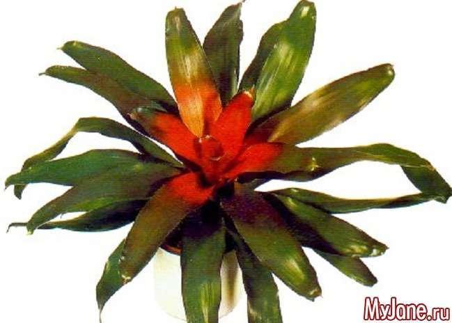Бромелієві рослини: коли «очі розбігаються»...