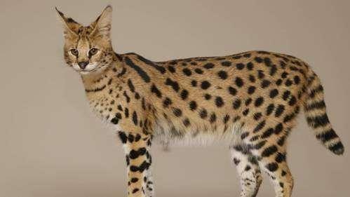 Найнезвичайніші породи кішок, про яких ви, можливо, навіть не знали