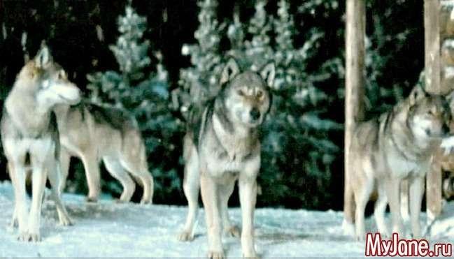 Вовко-собаки: що ми про них знаємо?