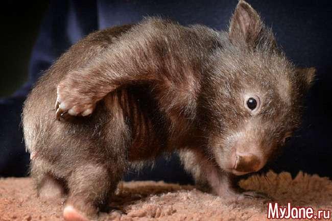 Вомбат: «травоїдний ведмедик» або «підземна коала»?
