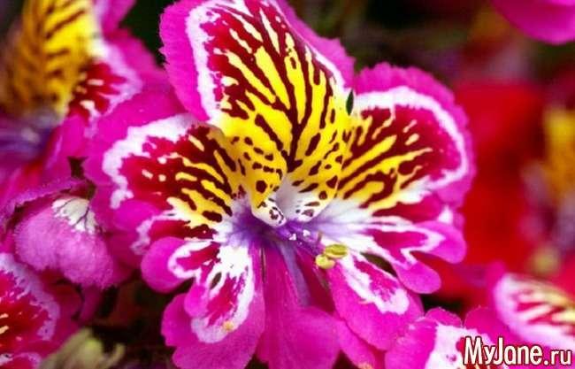 Разюча «орхідея бідняків» – схизантус