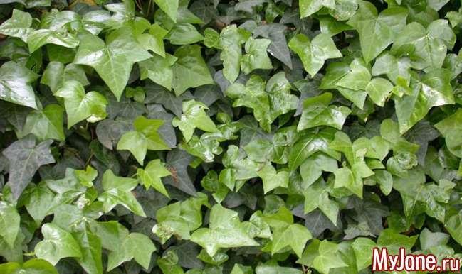 Вюнкі рослини – і краса, і користь (Частина 1)