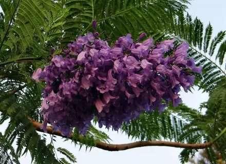 Фіалкове дерево