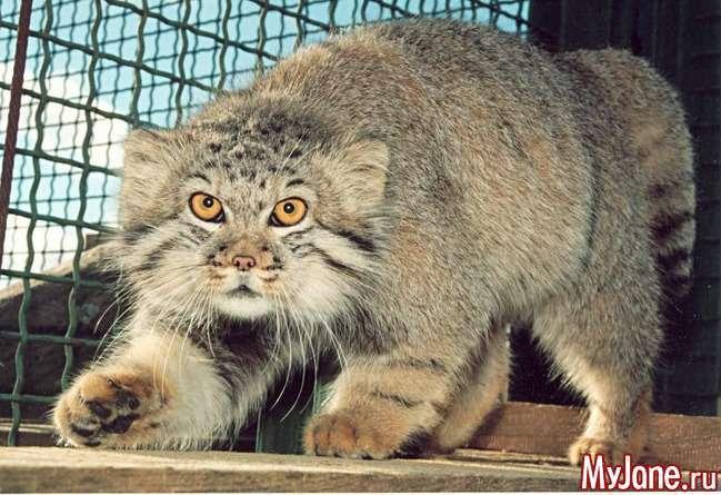 Манул: «кішка, яка гуляє сама по собі»