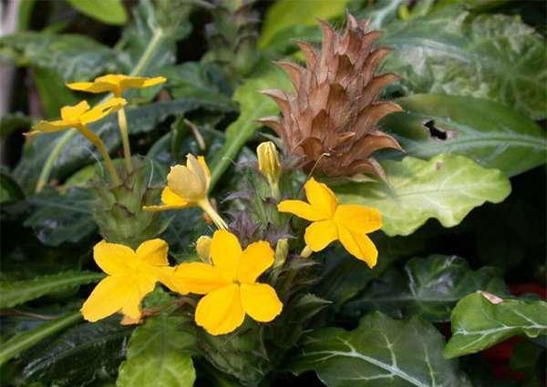 Кроссандра – квітка-хлопавка