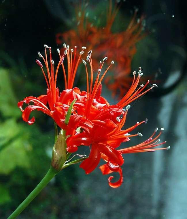 Квітка німфи