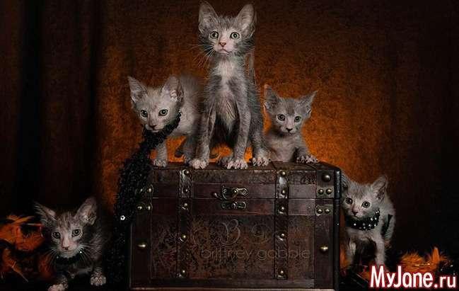Ликои - вервольфи світу кішок