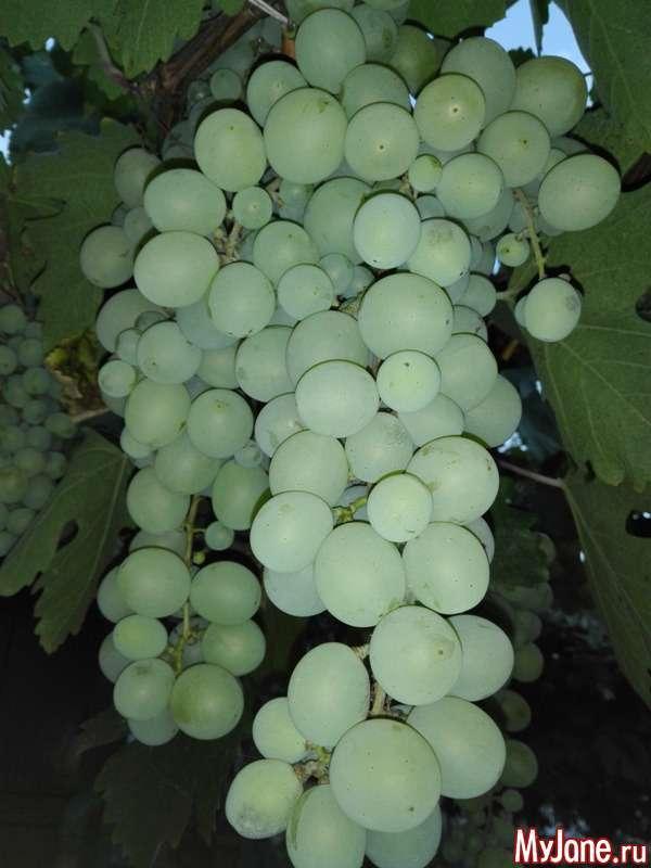 Виноград восени